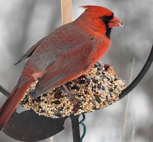 Cardinal291