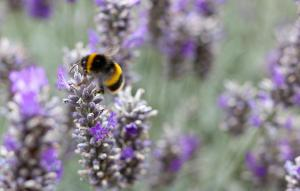 Jul23NorfolkLavender